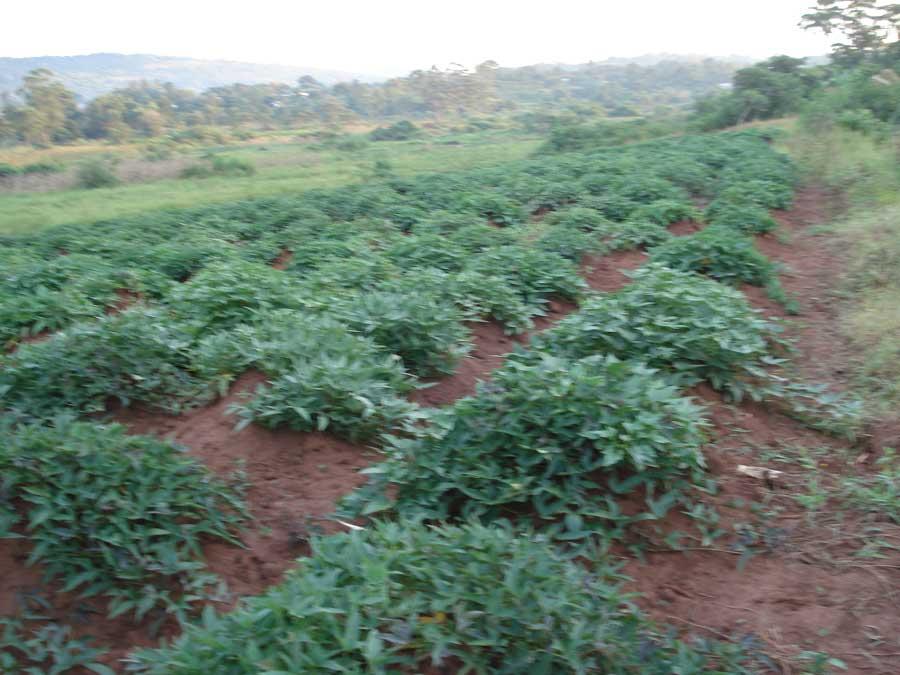farmersfamiliesfutureuganda05486